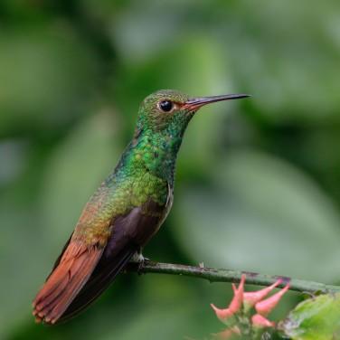 HummingbirdRufoustailed-2