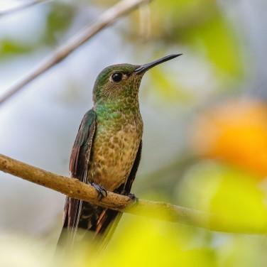 HummingbirdScalythroated