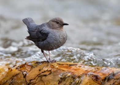 Such_AmericanDipper
