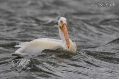 American White Pelican (Pelecanus erythrorhynchos), Colorado