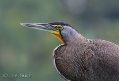 Bare-throated Tiger-Heron (Tigrisoma mexicanum), Costa Rica