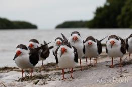 Black Skimmer (Rynchops niger), Florida