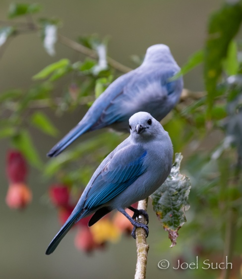 Blue-gray Tanager (Thraupis episcopus), Colombia