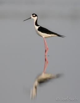 Black-necked Stilt (Himantopus mexicanus), Belize