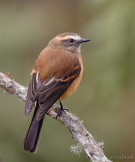 Brown-backed Chat-Tyrant (Ochthoeca fumicolor), Colombia