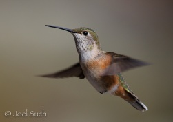 Broad-tailed Hummingbird (Selasphorus platycercus), Colorado