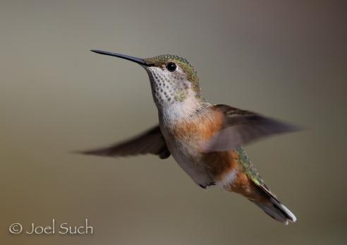 Broad-tailed Hummingbird (Selasphorus platycercus), Colorado