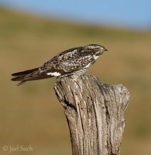 Common Nighthawk (Chordeiles minor), Colorado