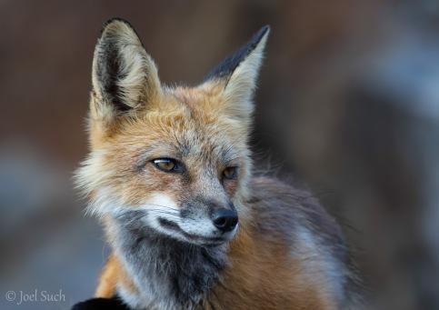 Red fox (Vulpes vulpes), Colorado