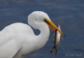 Great Egret (Ardea alba), Florida
