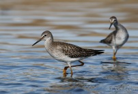 Lesser Yellowlegs (Tringa flavipes), Montana