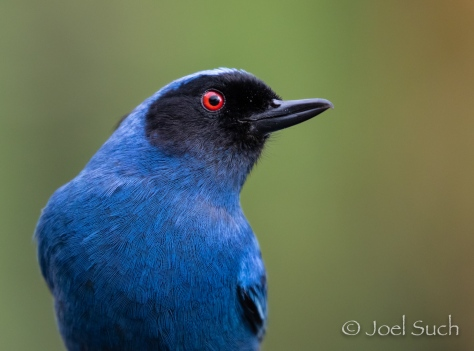 Masked Flowerpiercer (Diglossopis cyanea), Colombia