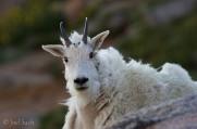Mountain goat (Oreamnos americanus), Colorado