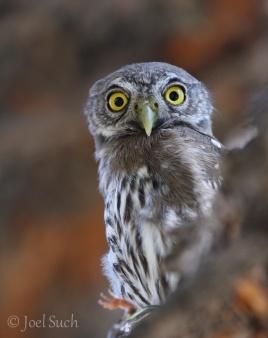 Northern Pygmy-Owl (Glaucidium californicum), Colorado