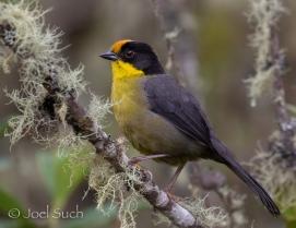 Pale-naped Brush Finch (Atlapetes pallidinucha), Colombia