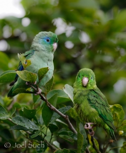 Spectacled Parrotlet (Forpus conspicillatus), Colombia