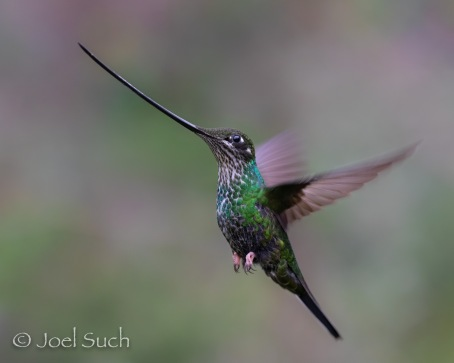Sword-billed Hummingbird (Ensifera ensifera), Colombia