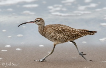Whimbrel (Numenius phaeopus), Costa Rica