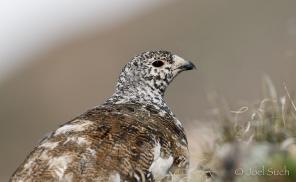 White-tailed Ptarmigan (Lagopus leucura), Colorado