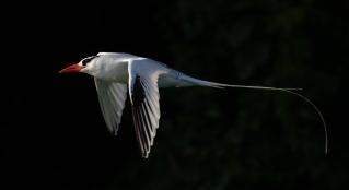 RedbilledTropicbird_BocasdelToro_JoelSuch